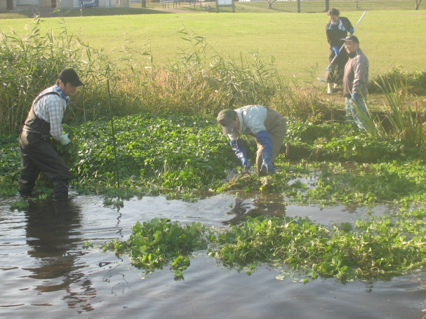 水中に入って水草を水際まで集めます