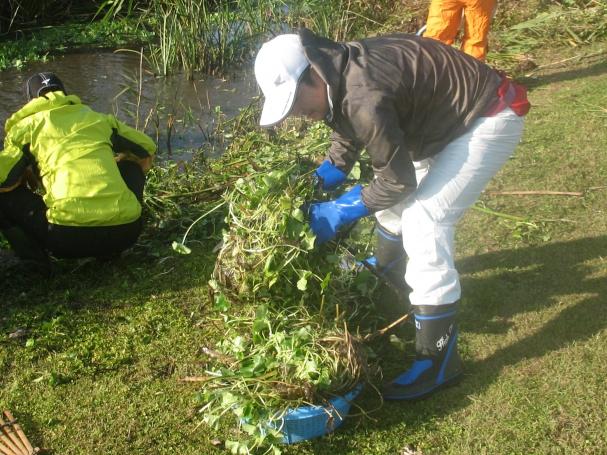 水際に集められた水草をゴミ収集車まで運びます